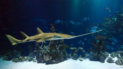 Animal Shark Sawfish Aquarium Creature Deep Fish