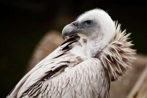 Animal Vulture Scavenger Beak Bird Feather