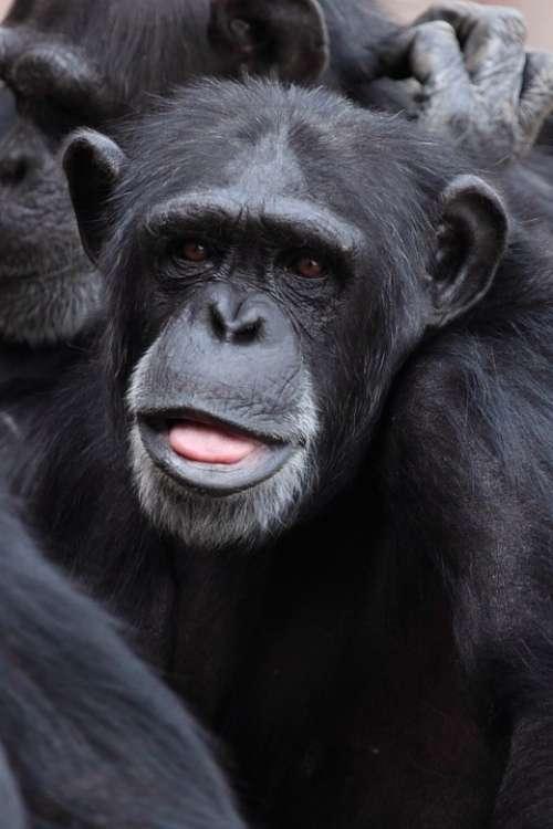 Animal Ape Chimp Chimpanzee Cute Face Funny