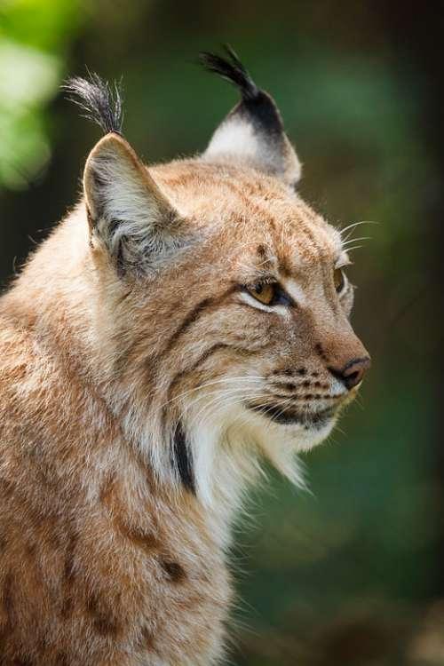 Animal Beast Big Carnivore Cat Dangerous Eye