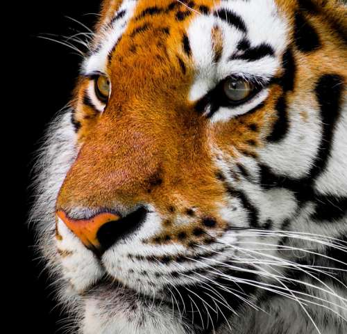 Animal Tiger Big Cat Amurtiger Cat Predator
