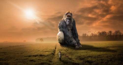 Animal Gorilla Ape Primate Herbivore Silver Back