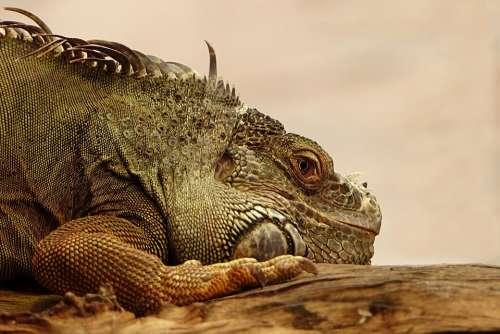 Animal Reptile Lizard Iguana Nature Animal World