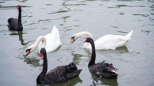 Animal Swan Goose Zoo