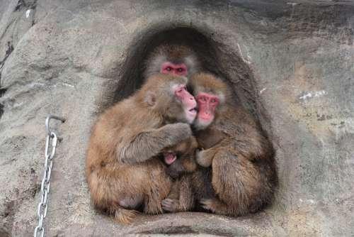 Animal Saruyama Monkey Snow Monkey