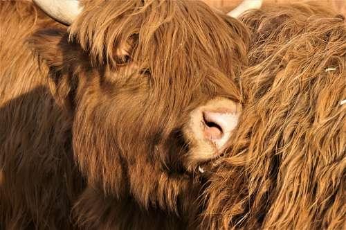 Animal Fur Horns Mammal Nature Cattle Bull