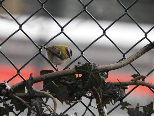 Animal Bird Nature Fauna Firecrest