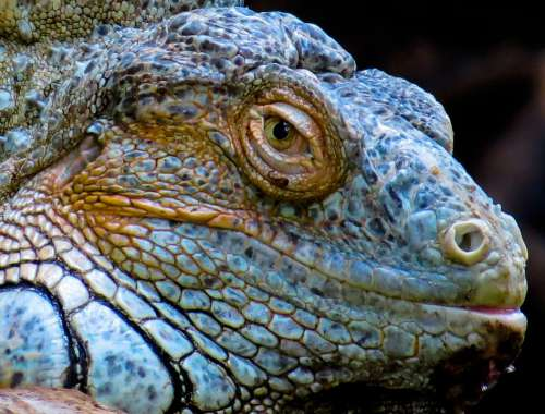 Animal Reptile Lizard Iguana Dragon Nature