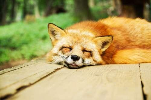 Animal Fox Cute Sleeping Sleep Resting Relaxed