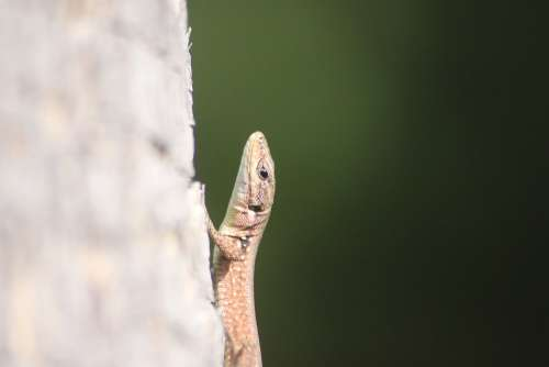 Animal Portrait Lizard Reptile Close Up Head