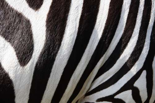 Animals Zebra Crosswalk Stripes Black And White