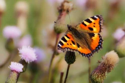 Animals Butterfly Little Fox Insect Butterflies