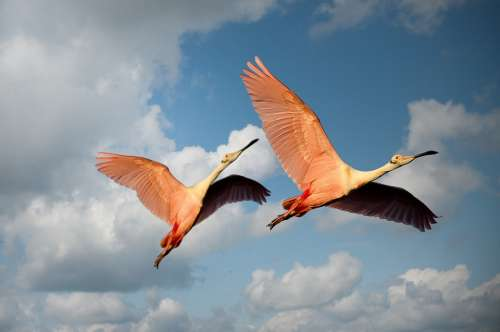 Animals Flamingos Birds Couple Wings Flying Pink