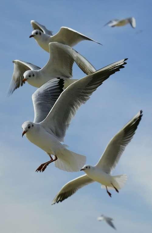 Animals Birds Flight Flying Gulls Seagulls Sky