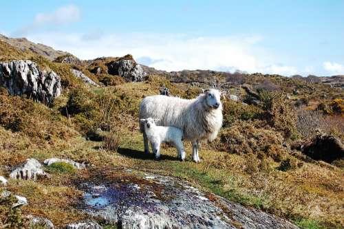 Animals Lamb Sheep Rural Nature Livestock