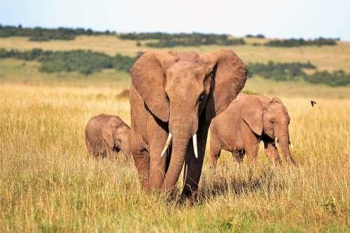 Animals Elephants Kenya Tusks Wild Animal Safari