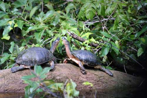 Animals Costa Rica Tortuguero Turtles Jungle