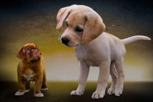 Animals Dogs Puppies Great Dane Dogue De Bordeaux