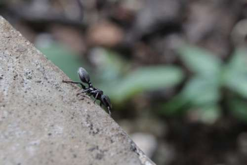 Ant Insect Macro Bug Small