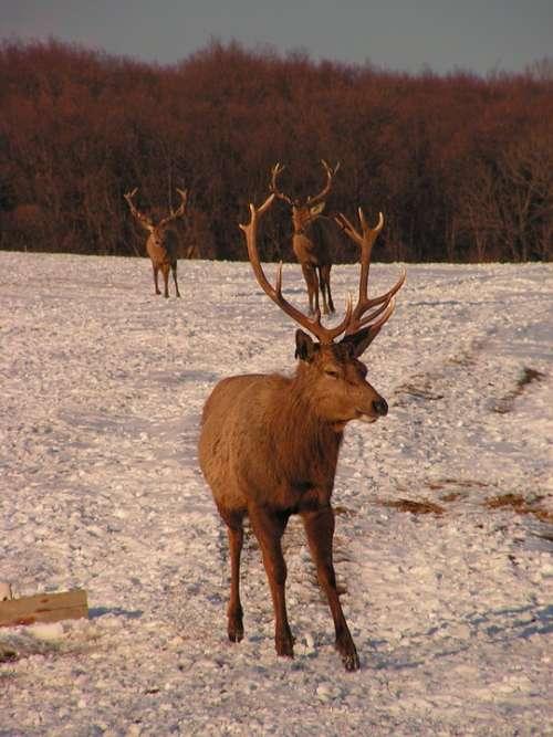 Antlers Hart Herd Snow Park