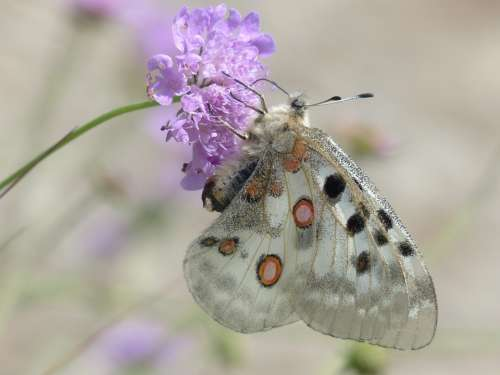 Apollo Butterfly Apollofalter Parnassius Apollo
