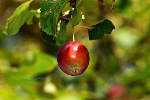 Apple Branch Apple Tree Fruit Food Nutrition Red