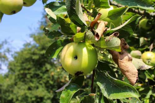 Apple Tree Apple Tree Immature Green Sour Fruity