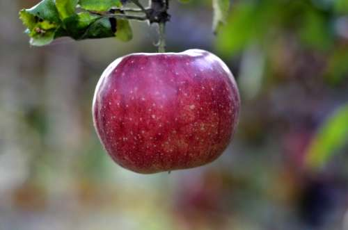 Apple Fruit Trees Garden Red Fruit Vitamins