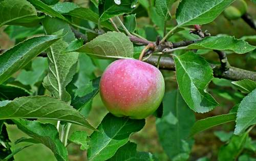 Apple Fruit Eating Nature Food Tree Bio Closeup