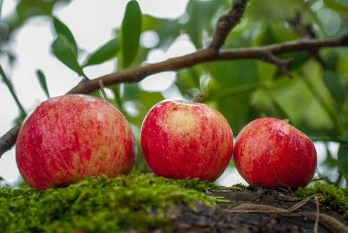 Apple Fruit Orchard Harvest Nature Health