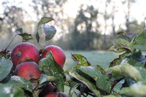 Apple Dew Green Dewdrop Leaves Wet Morgentau