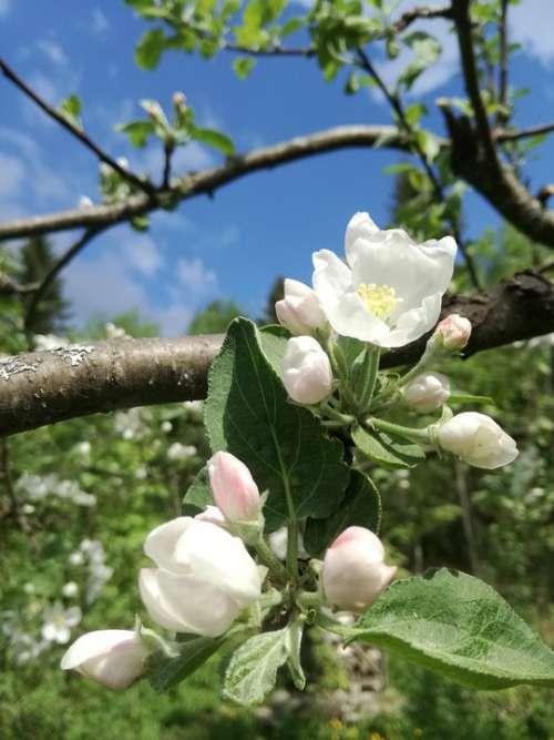 Apple Tree Flowers Garden Spring Blue Sky Bloom