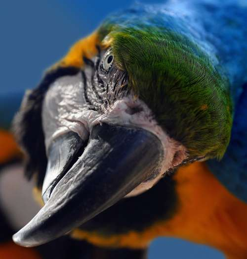 Ara Yellow Macaw Parrot Bird Portrait Head Bill