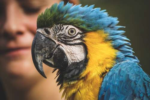 Ara Parrot Animal World Yellow Macaw Zoo Close Up