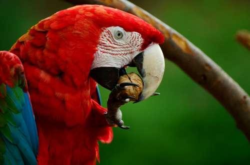 Ara Parrot Scarlet Macaw Bird Colorful Plumage