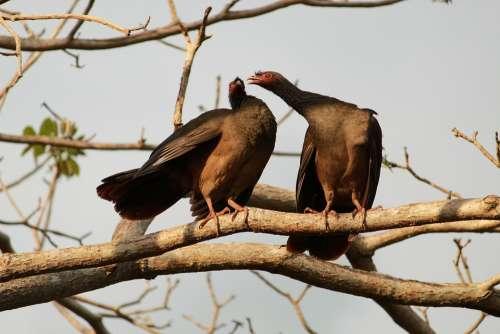 Aracuã-Of-The Pantanal Aracuã Bird Animal Pity