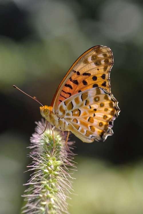Argynnis Hyperbius Butterfly Indian Fritillary