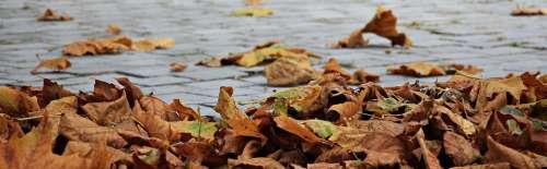 Autumn Leaves Golden Autumn Leaves In The Autumn