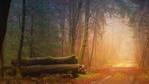 Autumn Fog Forest Tree Trunks Away Forest Path