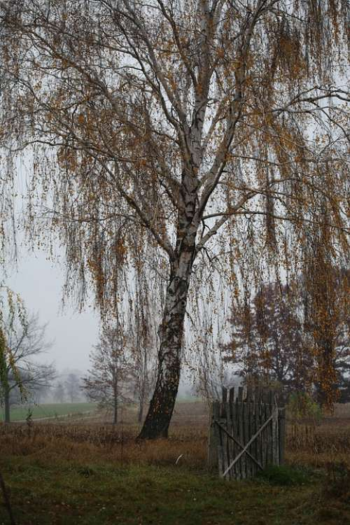 Autumn Birch Landscape Tree