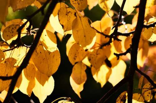 Autumn Leaves Yellow Nature Foliage