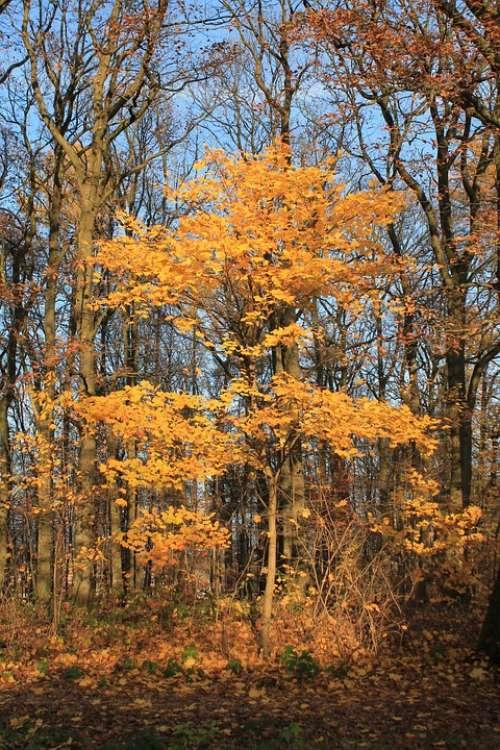 Autumn Tree Orange Leaves Golden Autumn