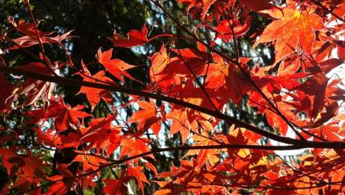 Autumn Acre Red