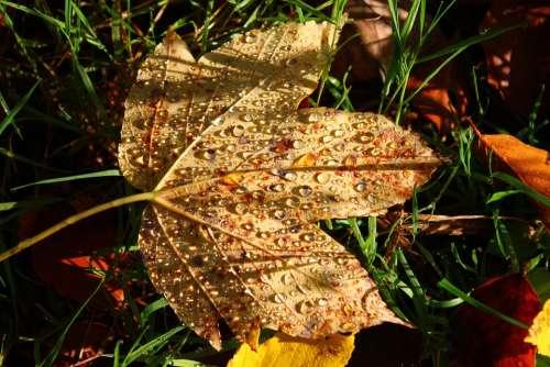 Autumn Leaf Forest Dew Maple Leaf Drip