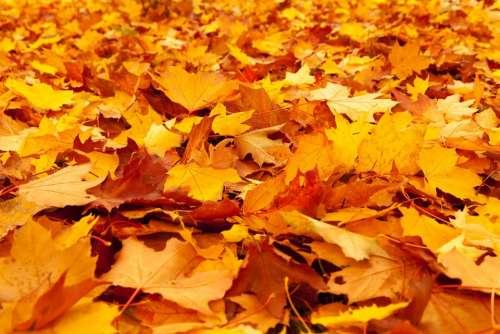 Autumn Autumn Leaves Fall Foliage Gold Leaf Maple