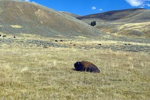 Autumn In Lamar Valley Bison Buffalo Sagebrush