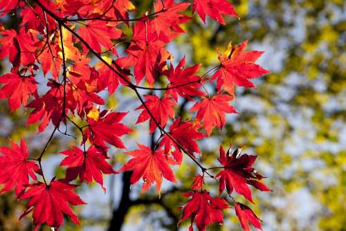 Autumn Leaves Maple The Leaves Autumn Nature Red