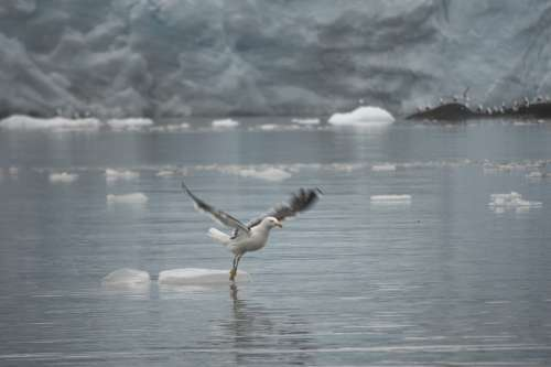 Ave Flying Dancing Water Sea Ice Rubble Glacier