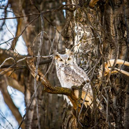 Avian Owl Camouflage Forest Great Horned Owl