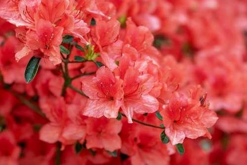 Azalea Flowers Bloom Bright Bush Rhododendron